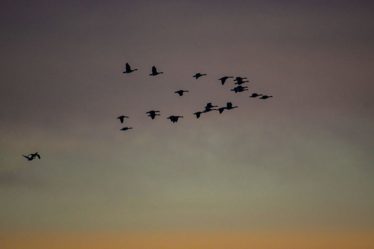Canada Coast To Coast Geese Geese Family Canadian Geese Flying Sky Animal Themes Animals In The Wild Group Of Animals Animal Bird Vertebrate Animal Wildlife Low Angle View Flock Of Birds No People Nature Mid-air Large Group Of Animals Silhouette Motion Sunset on the move Cloud - Sky