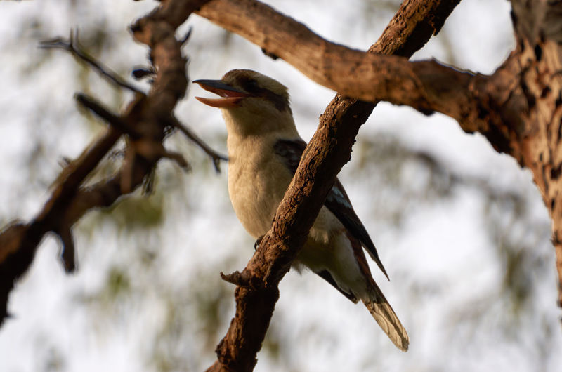 Animal Themes Animals In The Wild Australian Birds Beak Beauty In Nature Bird Branch Close-up Day Focus On Foreground Full Length Nature No People One Animal Perching Selective Focus Tree Tree Trunk Wildlife Zoology