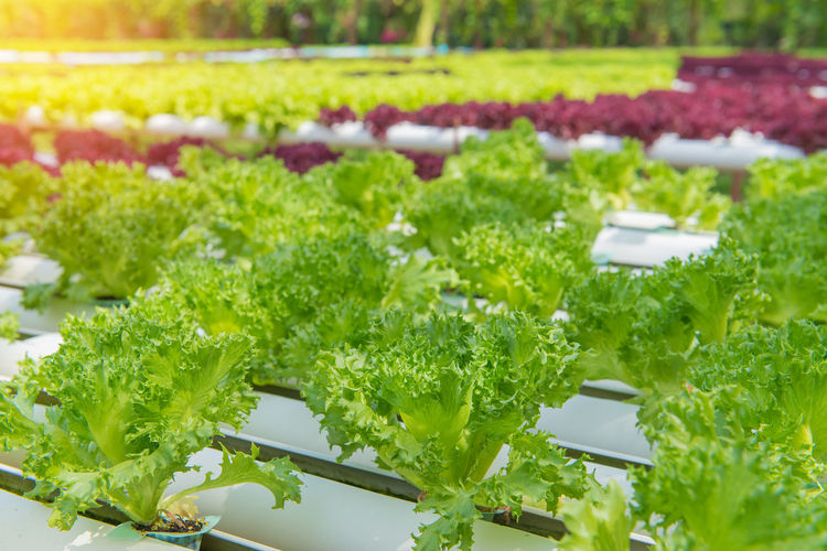 Green Color Growth Freshness Vegetable Food And Drink Plant Food Leaf Nature No People Healthy Eating Close-up Plant Part Lettuce Wellbeing Day Selective Focus Beauty In Nature Organic Outdoors Herb Gardening