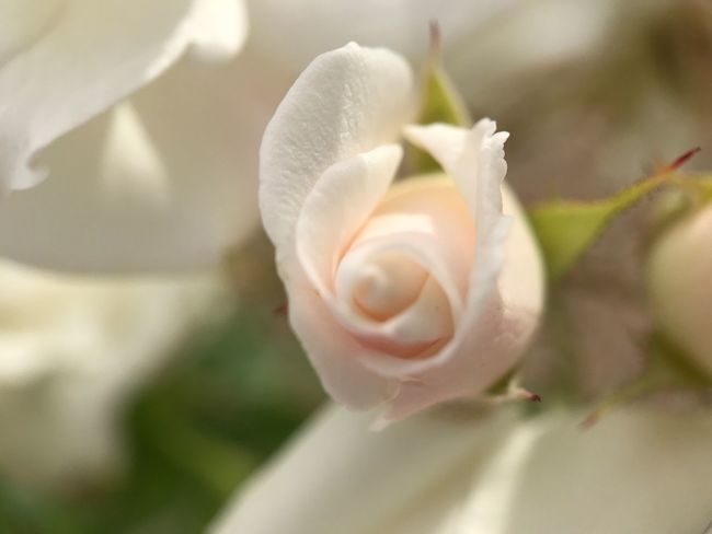 Flower Petal Nature Fragility Growth Flower Head Beauty In Nature Rose - Flower Plant White Color Close-up Freshness No People Blooming Outdoors Day Moment Lens Shot On Moment