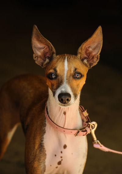 Portrait of italian greyhound