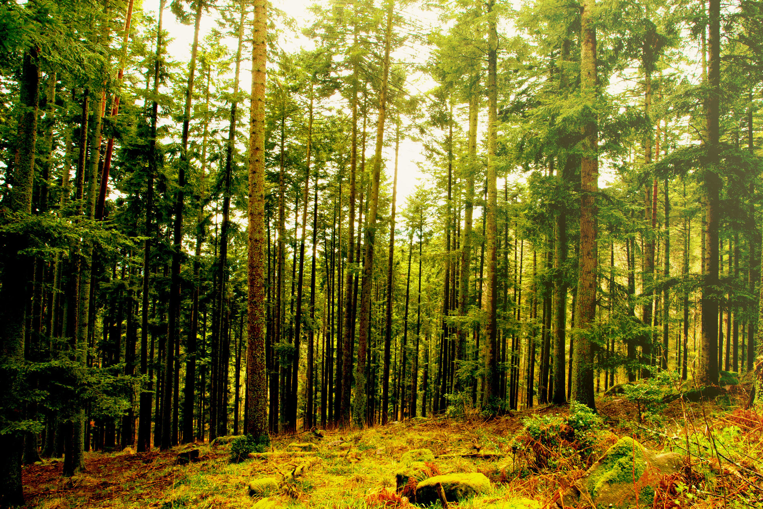 forest, tree, land, plant, woodland, nature, tranquility, day, growth, scenics - nature, beauty in nature, environment, tree trunk, tranquil scene, trunk, landscape, sunlight, non-urban scene, outdoors, no people, bamboo - plant, pine woodland