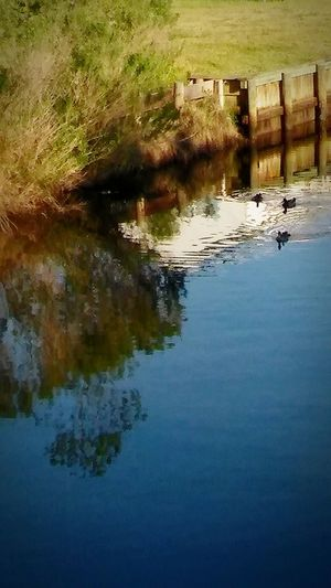 MallardDuck's💗💗 2Males1Female💞💞💞 BabyDuckling💕 Reflections Reflected In The Glassy Stillness Of The Water No People EyeEmBestShot's Fulllength Nature Beauty In Nature Fenceposts I💞💞💞Duck's Duck_Photography Reflections In The Water