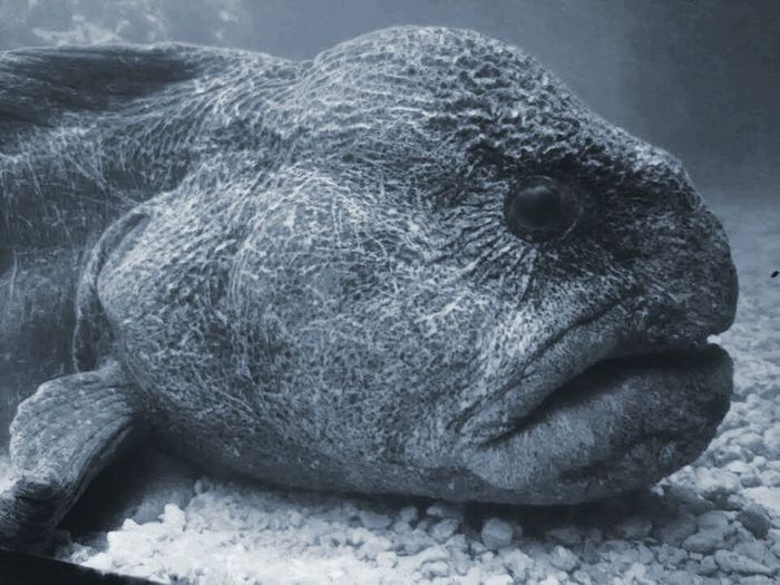 Close-up Animal Themes One Animal Animal Animal Wildlife Animals In The Wild Sea Life Wolfeel Eel Wolffish Wolf Fish Wolf Eel Big Fish Large Fish Long Fins UnderSea Beauty In Nature Grumpy Face Angry Face Mad Ugly Face Fish Face Ocean Photography Sealife Swimming