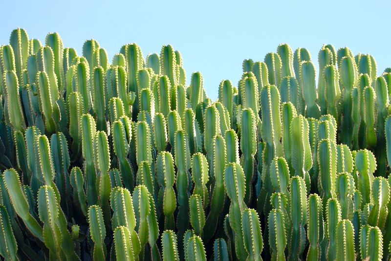 Close-up of fresh cactus plants on field against clear sky