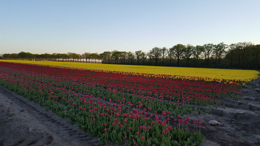 Scenic view of flowering plants on field against clear sky