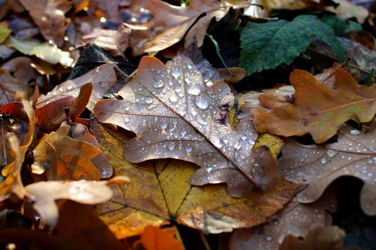 Close-up of wet maple leaves
