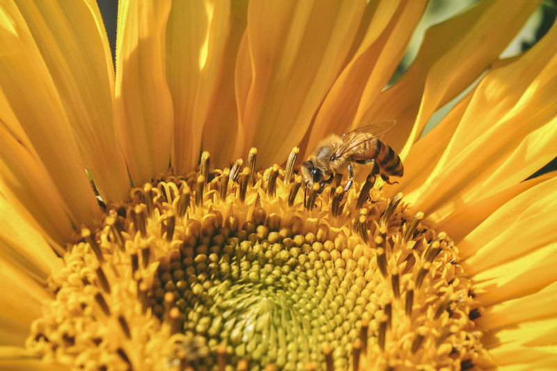 Pollination Flower Flowering Plant Freshness Growth Petal Flower Head Beauty In Nature Pollen Bee Honey Bee Sunflower Springtime Ecology Conservation Environment Biology Botany Yellow Nature Pollination Pollinator Spring EyeEm Best Shots EyeEm Nature Lover