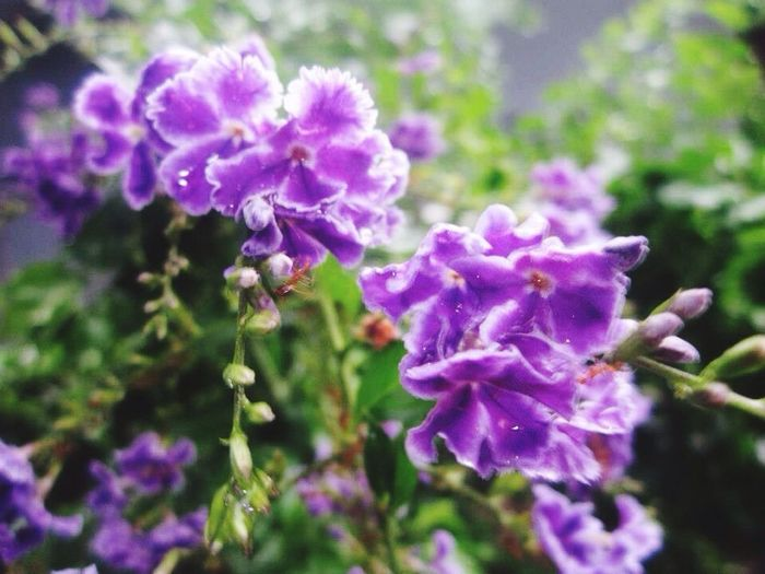 Bunch of purple Flower Nature Growth Plant Purple Blooming Beauty In Nature Freshness