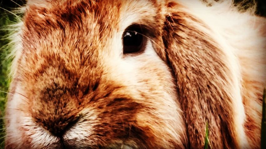 Swedish killer bunny One Animal Pets Animal Head  Close-up Domestic Animals Mammal Rabbit Portrait City Nature Outdoors Sthlm❤ Capture The Moment Photographing Sommartider EyeEmNewHere ArtWork Art Is Everywhere Beauty In Nature Animal Themes