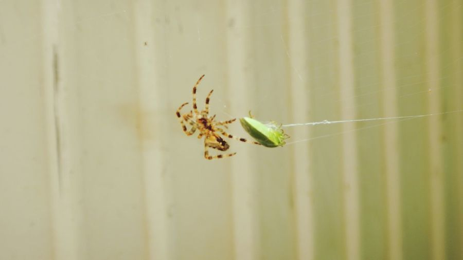 Spider Spider Web Spider Attack Green Bug Stink Bug