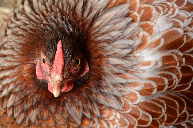 Nine, ten, a big fat hen Animal Head  Beak Big Fat Hen Bird Chicken - Bird Close-up Livestock Looking At Camera One Animal