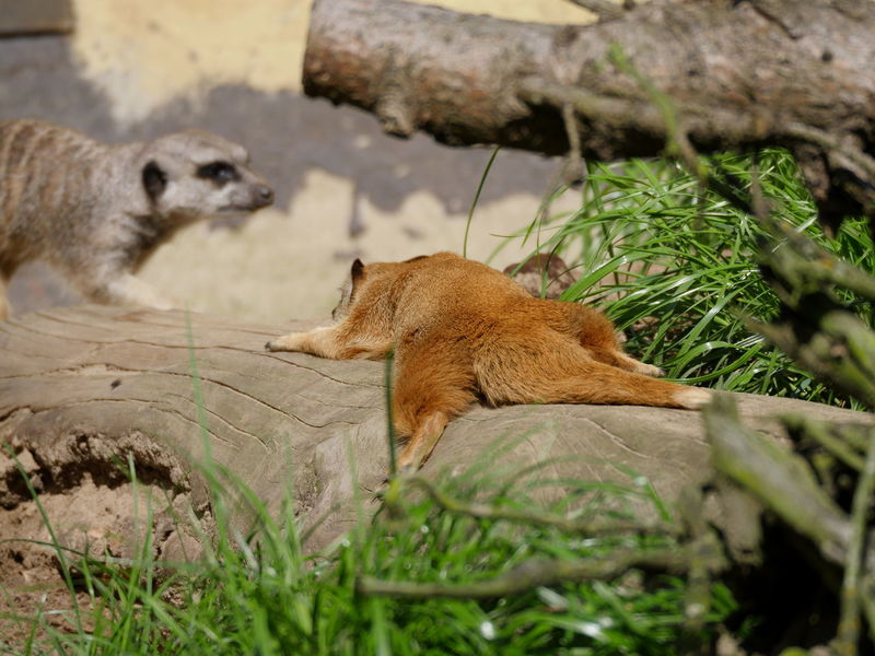 Fuchsmanguste und Erdmännchen Yellow Mongoose Mongoose Red Meerkat Meerkat Grassy Lying Down Nature No People Non Urban Scene Outdoors Relaxing Tree Wildlife & Nature Taking Photos From My Point Of View Animal Themes Perspective Dreamy Animals Grass Home Is Where The Art Is Beauty In Nature Zoology