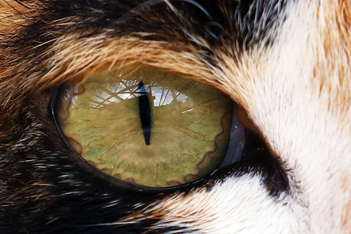 Animal Body Part Animal Eye Danger Look Focus On Foreground Glance Outlook Pets Respect The Eye Of The Cat The Eye Of The Tigre Pet Portraits