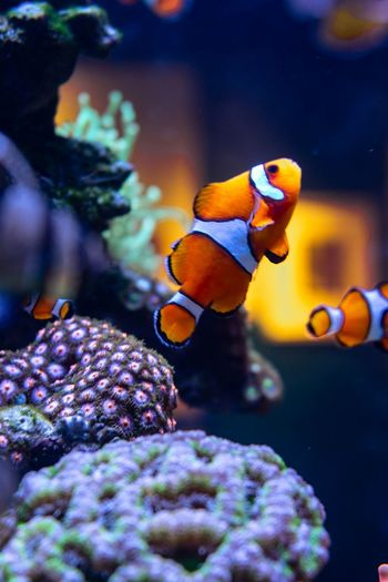 Close-up of clown fishes in fish tank