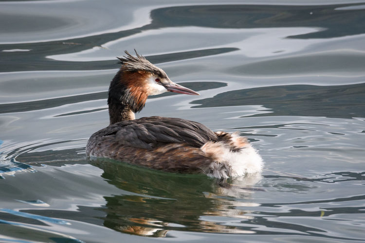 Duck swimming in lake, back view of grebe
