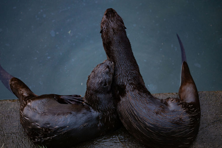 High angle view of otters lying on retaining wall over sea