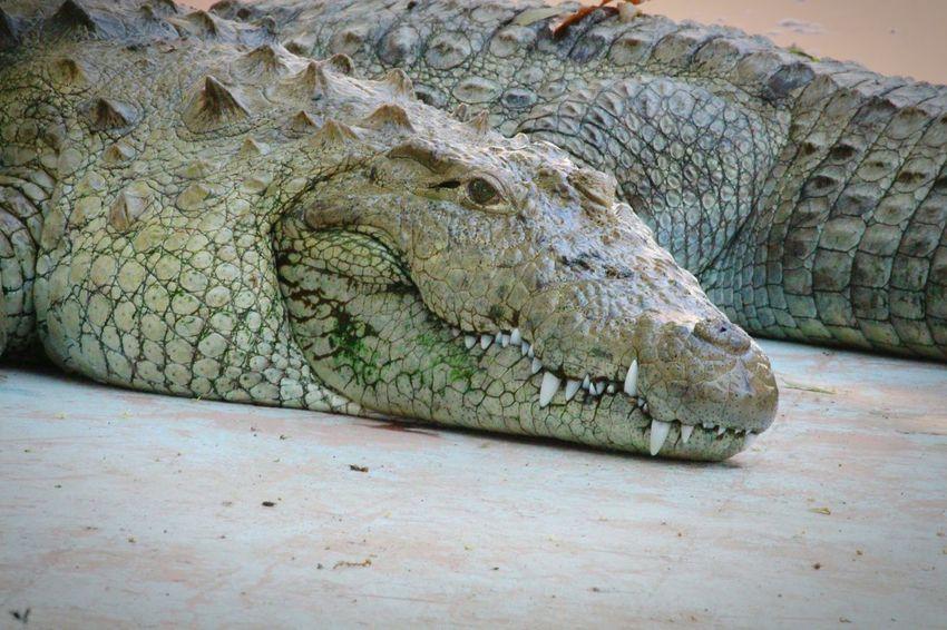 The Jaws Jaws Crocodile Crocs Crocodile Eyes Crocodile Jaws Siddharth Garden & Zoo EyeEm Selects Siddharth Garden Aurangabad Diary Aurangabad Dangerous Water Animals Zoo Animals  Zoo Life