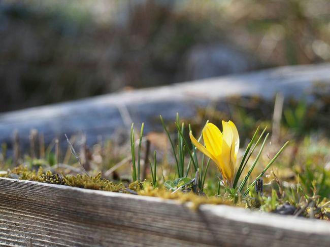ポン♪ポン♪…あちこちで蕾が開く音がする🌼 Spring  クロッカス Flower 日だまり Yellow Flower Flower Collection Taking Photos Nature EyeEm Nature Lover Blossom My Point Of View