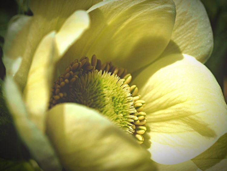 2015.3.13 Flower Spring Flowers 花 Nature Naturelovers アネモネ Anemone OlympusPEN Olympus