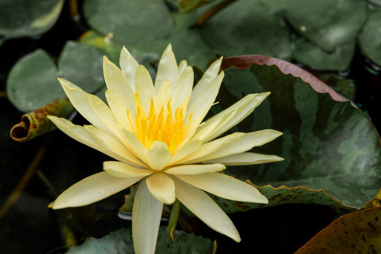 Flower Flowering Plant Inflorescence Growth Nature Flower Head Vulnerability  Petal Fragility No People Focus On Foreground Leaf Yellow Beauty In Nature Plant Water Pollen Freshness Plant Part Day EyeEm Best Shots EyeEmNewHere EyeEm Nature Lover Lotus Lotus Water Lily