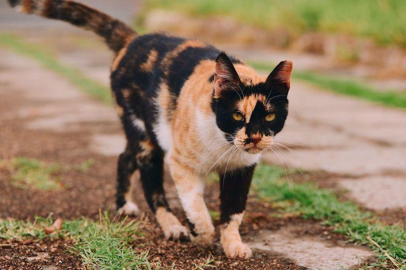 Portrait of calico cat walking on field