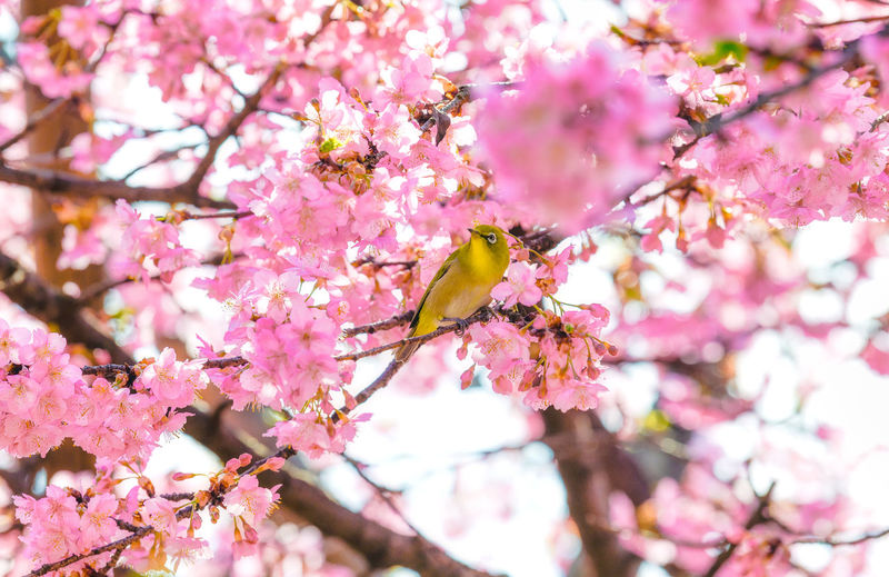 Flower Flowering Plant Plant Tree Freshness Pink Color Branch Growth Beauty In Nature Springtime Blossom Vulnerability  Animals In The Wild Nature Close-up Animal Themes Cherry Blossom Animal Wildlife Cherry Tree Flower Head Pollen Spring Japan Sakura Bird