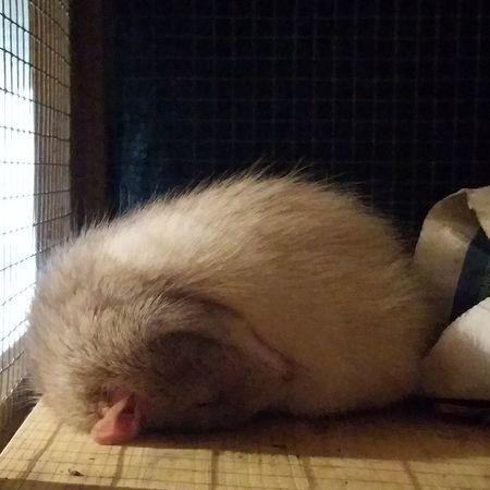 ʜᴏᴍᴇ Picoftheday ᴘʜᴏᴛᴏ ᴘʜᴏᴛᴏɢʀᴀᴘʜɪᴇ ʟᴏᴠᴇɪᴛ Animals Animal Sweet Rats Rat Pet Cutie Rattie Ratte Ratstagram Ratties Ratlover Eyeem X Whitewall: Animals