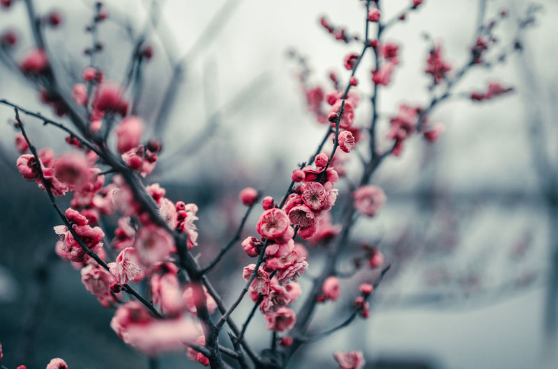 Plant Growth Freshness Tree Beauty In Nature Selective Focus Flower Nature Day No People Springtime Flowering Plant Close-up Outdoors Cherry Blossom Plum Blossom Flower Head Travel Destinations Travel Pink Color Colors Colorful