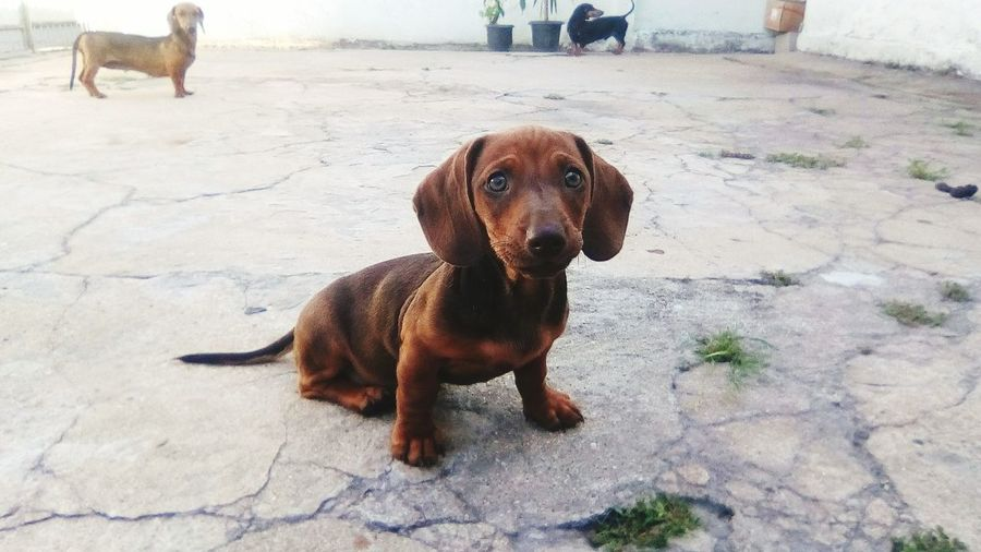 EyeEm Selects Dog Pets One Animal Domestic Animals Mammal Animal Themes Day Outdoors No People Sitting Portrait Protruding Nature Dachshund