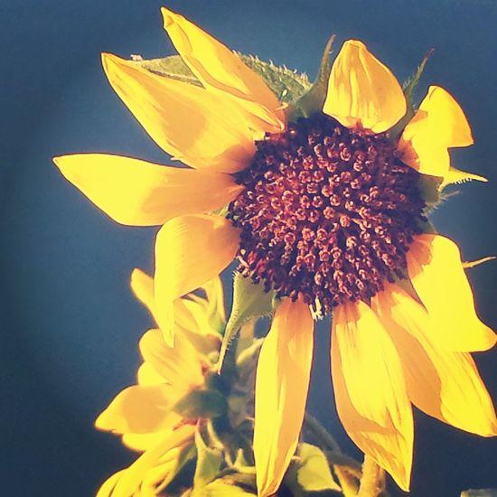 Sunflower Sad Confluence Lake