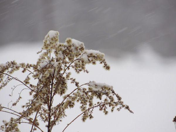 White Background Snow Winter Goldenrod