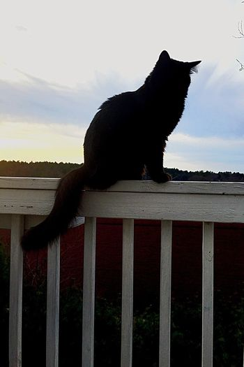 One Animal Animal Themes Domestic Animals Pets Outdoors Cranberry Bog Cats Cat Outdoors Black Cats Cat On A Fence Day Sitting Cats 🐱 Black Cats Are Beautiful Cat Enjoying The View Cat Outside Duxbury, Ma