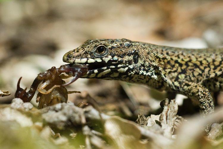 Close-Up Of Lizard Feeding On Scorpion