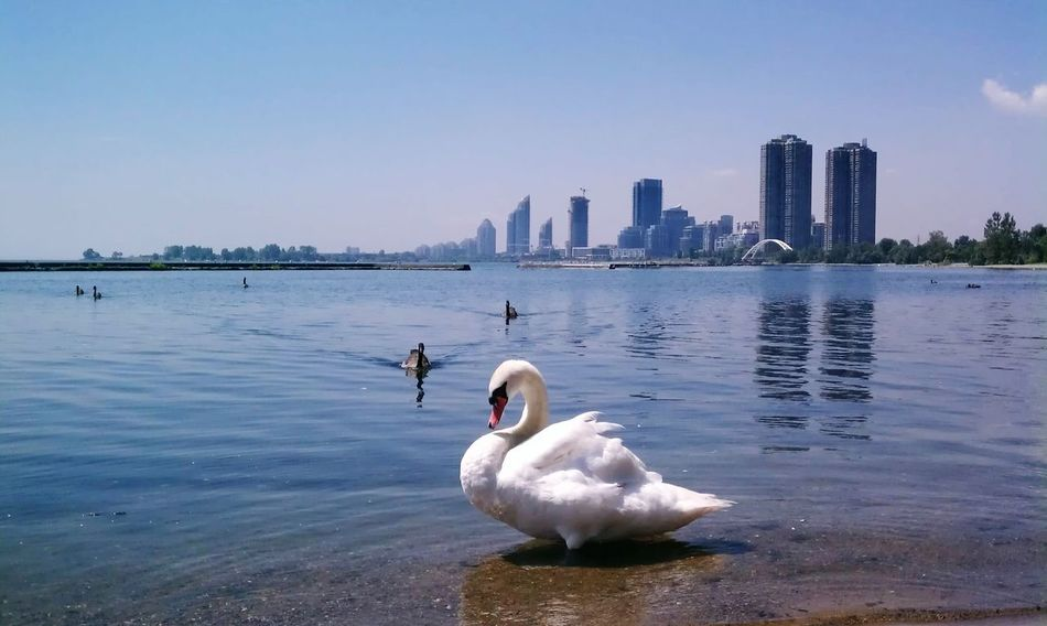 Swan and Cityscape Background. Water Lake Natural Light Summer Toronto Ontario Canada Cityscape Urban Green Bird Swan Signet Pond Light On Water Sunlight Summer Space For Copy Toronto Travel
