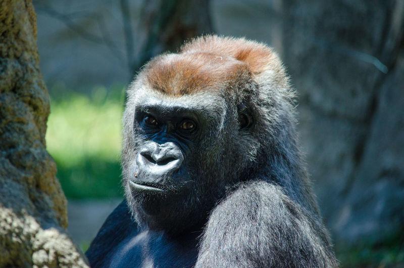 Portrait of gorilla in madrid zoo