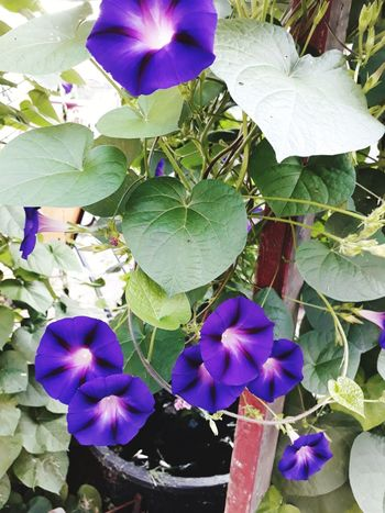 Morning Glories Pretty Purple Flower From Where I Stand Photos By Jeanette Colors Summertime Flower Head Flower Leaf Petal Purple High Angle View Close-up Flowering Plant Blossom Plant Life