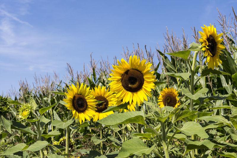 Sonnenblumen im