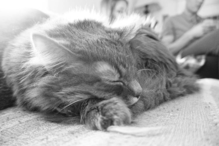 King of the Castle Cat Feline Furry Friends Fuzzball  Lazy Sunday Maine Coon Pets Resting