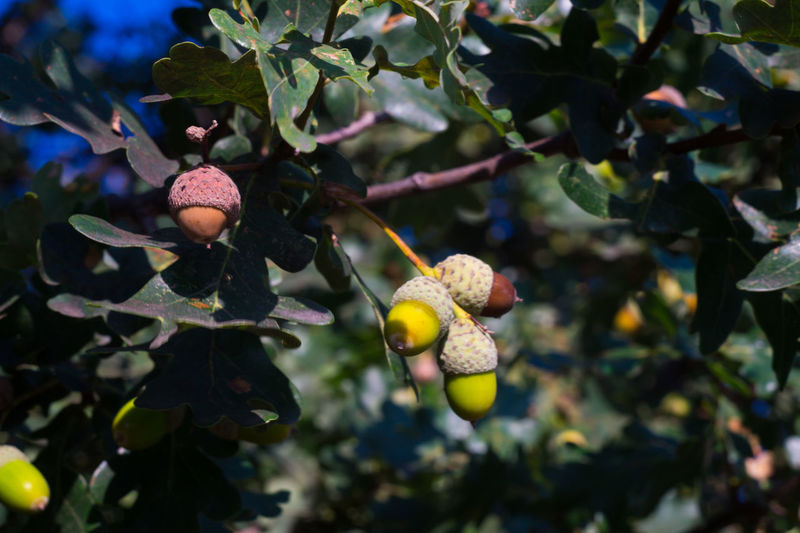 Eicheln Sony Alpha 5000 Helios 44-2 Beauty In Nature Focus On Foreground Fruit Nature No People Tree