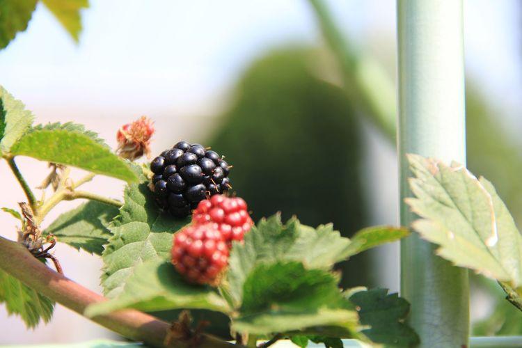 桑の実? Tree Fruit Leaf Red Agriculture Close-up Sky Plant Food And Drink