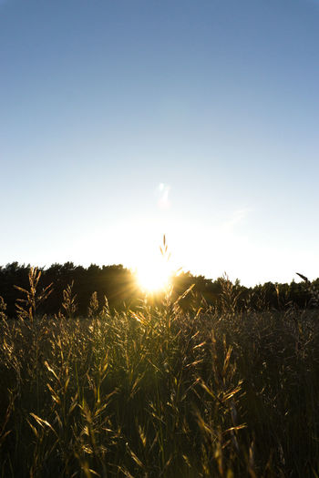 Scenic view of wheat field against clear sky at sunset