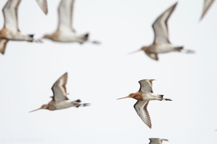 Black-tailed Godwits Bird Flying Spread Wings Outdoors Black-tailed Godwit Wader Waders Water Nature Wildlife & Nature Bird Photography Nature Photography Wildlife Photography Wildlife