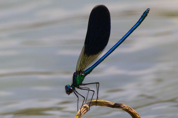 Close-up of damselfly on stem by lake