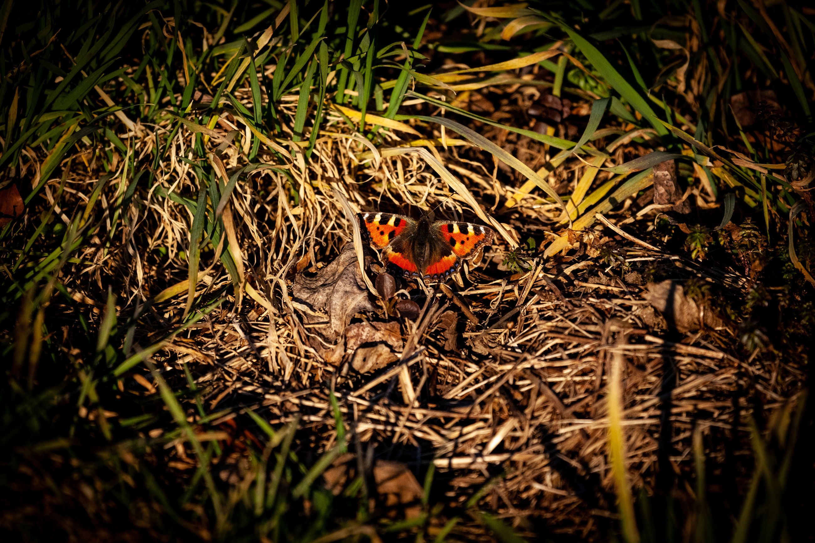 animal themes, animal wildlife, animals in the wild, animal, one animal, insect, plant, invertebrate, selective focus, day, no people, nature, beetle, high angle view, ladybug, land, outdoors, close-up, field, orange color, butterfly - insect