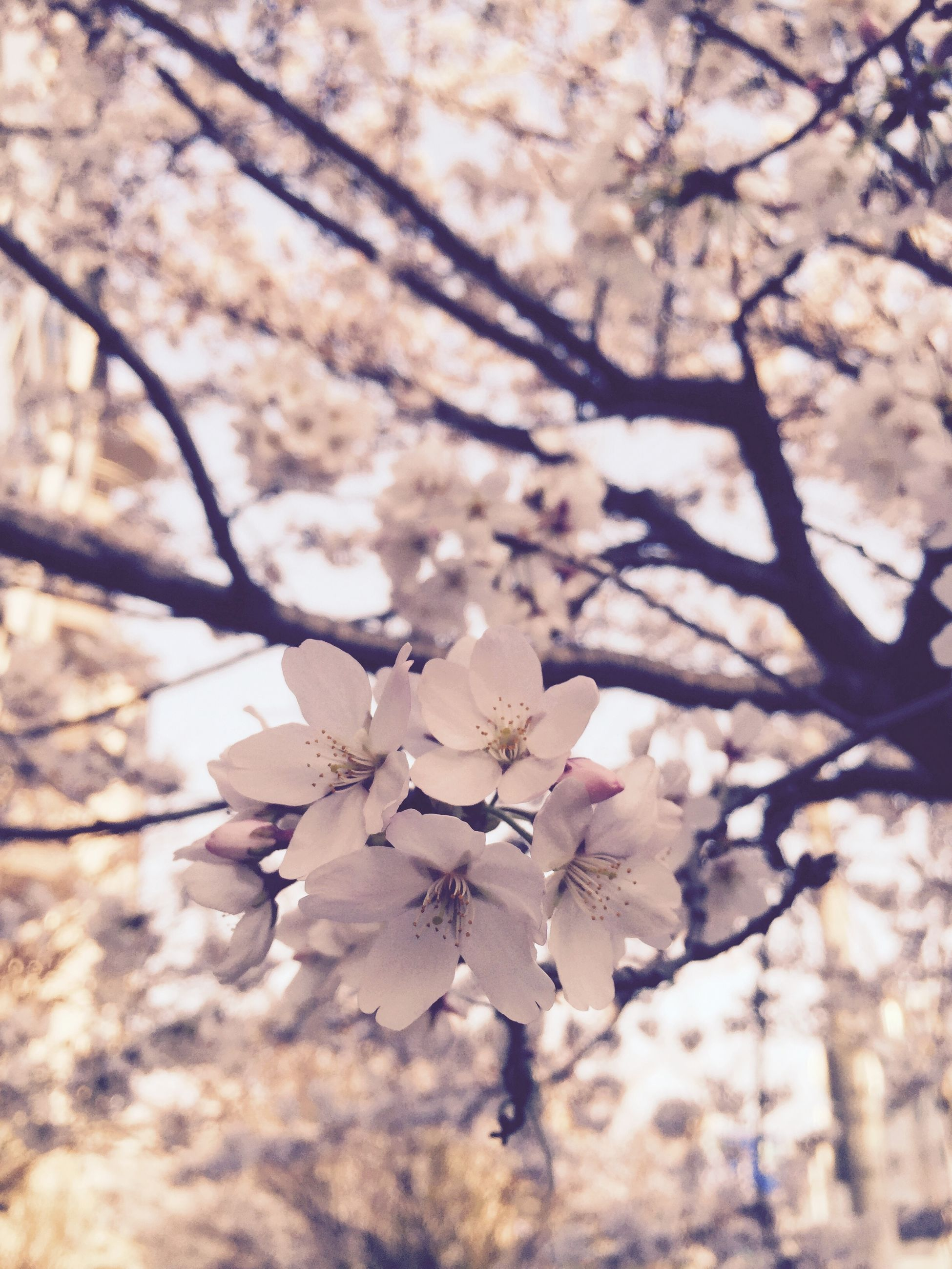 branch, tree, flower, growth, beauty in nature, freshness, nature, cherry blossom, low angle view, blossom, fragility, cherry tree, focus on foreground, springtime, twig, close-up, season, outdoors, day, in bloom