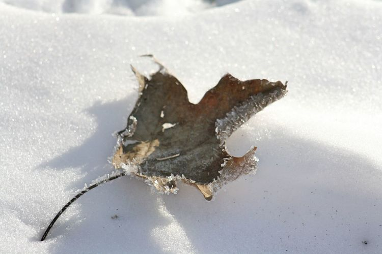 Leaf in the snow Snow Winter Cold Temperature Nature No People Plant Part Land Leaf Close-up Day White Color Frozen High Angle View Sunlight Shadow Dry Outdoors Field Beauty In Nature Ice Leaves Frozen