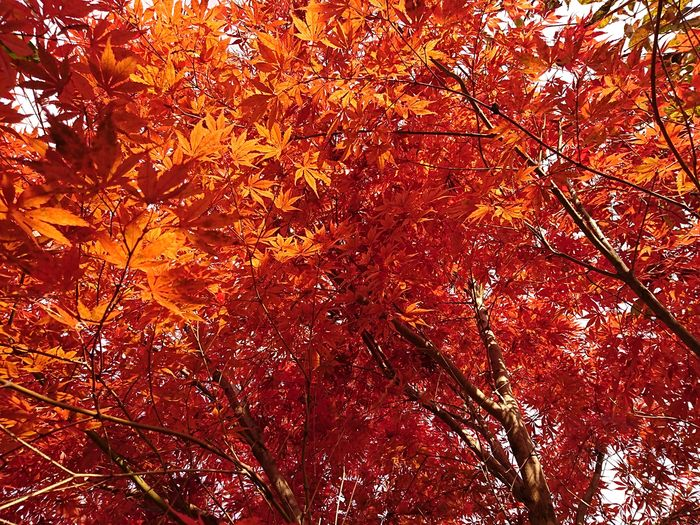 Red autumn a