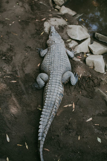 Alligator Animal Themes Animal Wildlife Animals In The Wild Close-up Crocodile Crocodylus Porosus Day High Angle View Nature No People One Animal Outdoors Reptile