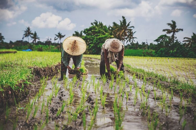 Farmers Planting Rice In Farm Field